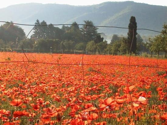 Campo di papaveri - Nemi (4512 clic)