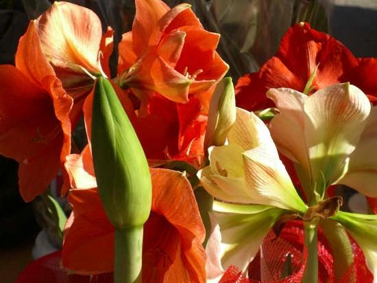 Cremona - mercato dei fiori (2385 clic)