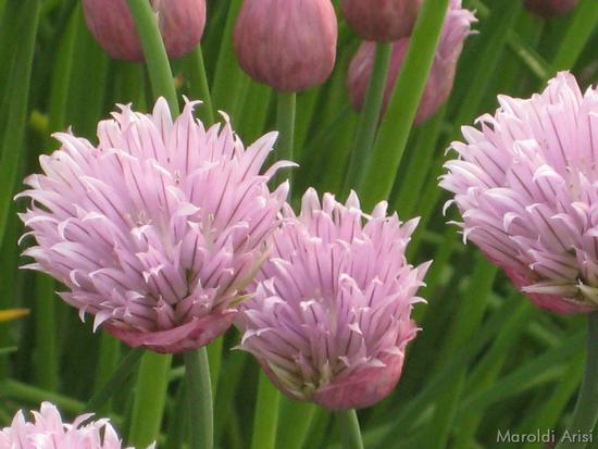Erba cipollina - Gussago (1629 clic)