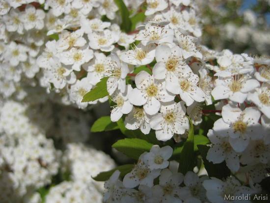 Gussago: biancospino in fiore (2113 clic)