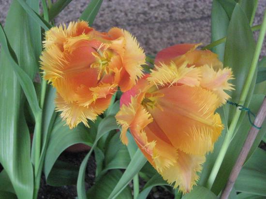 Tulipani - Torino (1788 clic)