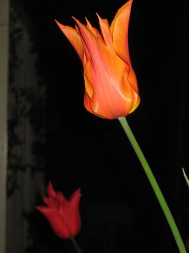 Tulipani - Torino (1766 clic)