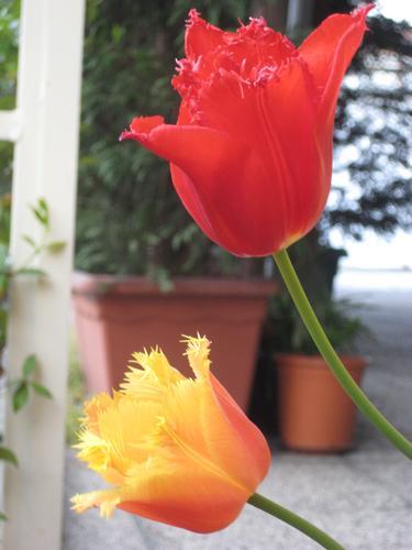 Tulipani - Torino (1776 clic)