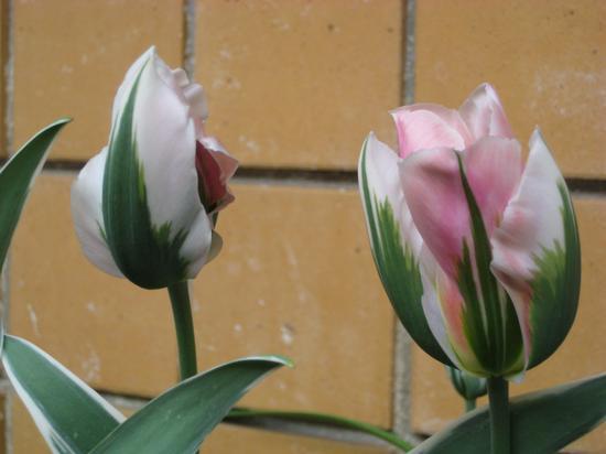 Tulipani - Torino (1747 clic)