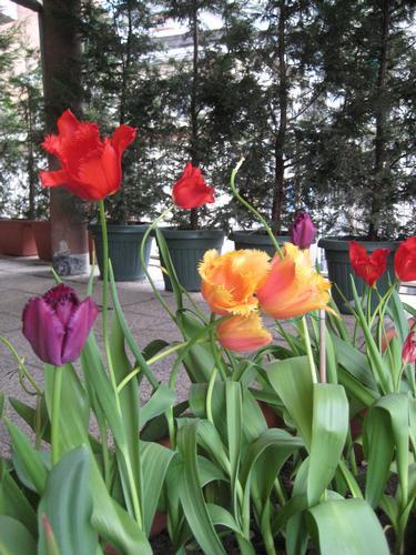 Tulipani - Torino (1893 clic)