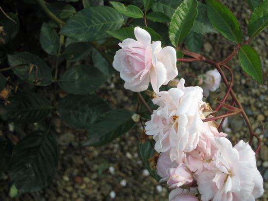 Le Rose del giardino della Reggia di Venaria - Venaria reale (2065 clic)