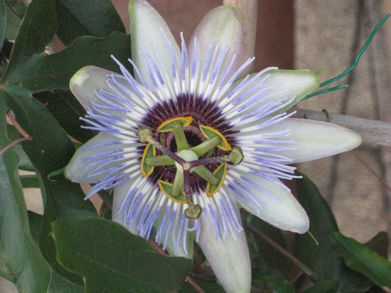 Fiore Della Passione - Passiflora - Torino (1857 clic)