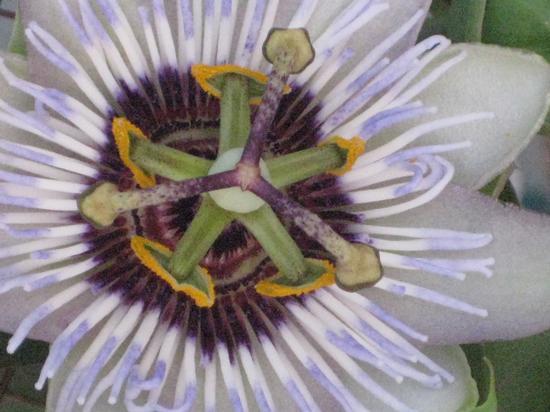 Fiore Della Passione - Le Architetture Della Passiflora - Torino (1894 clic)