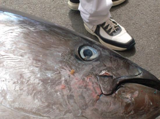 tonno,nel porto di porticello (pa) (4779 clic)