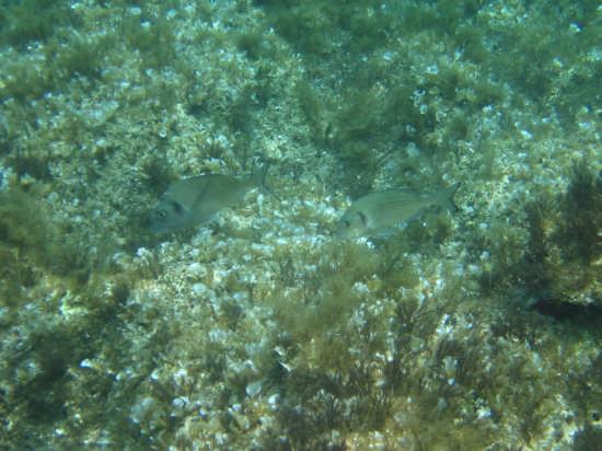 Orate al pascolo Sparus aurata - Lampedusa (3088 clic)
