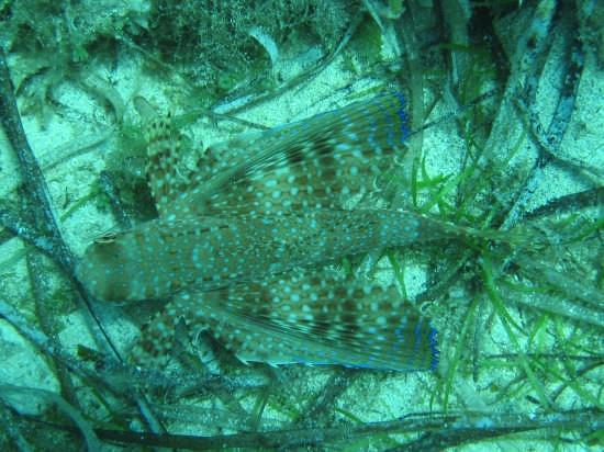Il pesce Civetta Dactylopterus volitans - Lampedusa (4947 clic)