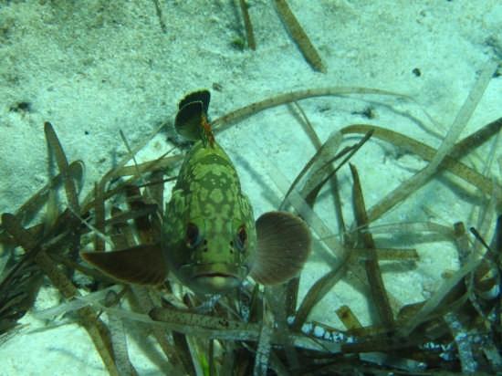 Piccole Cernie alla ribalta  - Lampedusa (3956 clic)