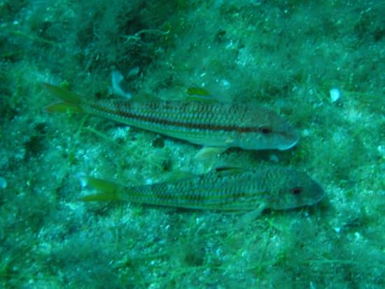 Triglie di scoglio Mullus surmuletus - Lampedusa (5024 clic)