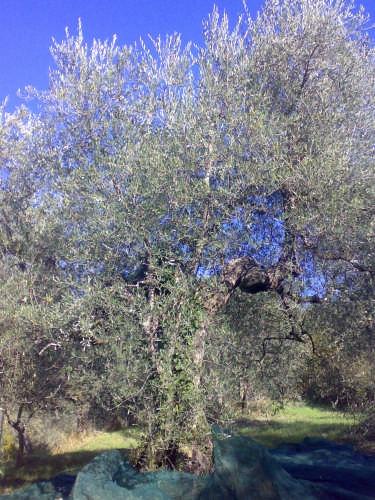 Olivo - Compiobbi (2161 clic)