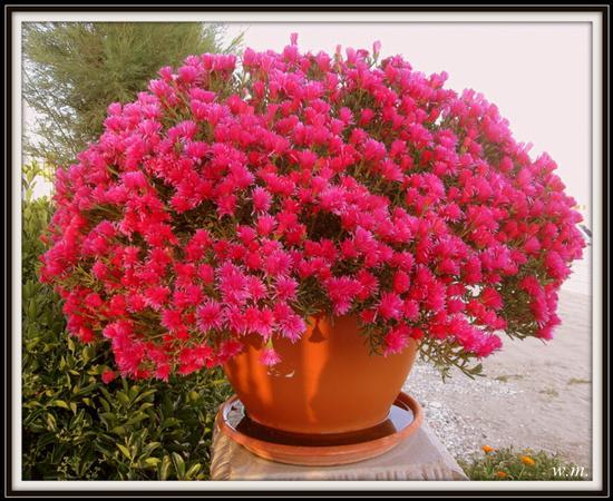 pianta grassa - Marina di massa (1270 clic)