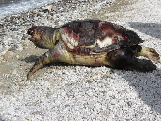 ...tartaruga spiaggiata... - Marina di massa (2109 clic)