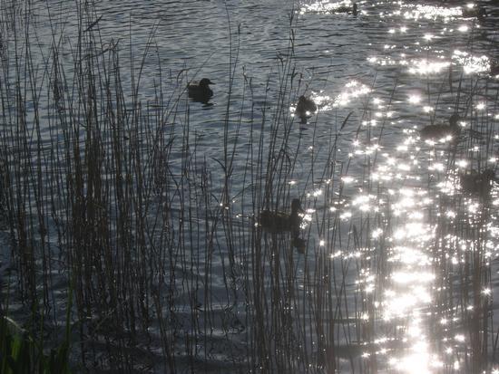 anatre sguazzanti nello stagno di campagna.. - MARINA DI MASSA - inserita il 05-Feb-11