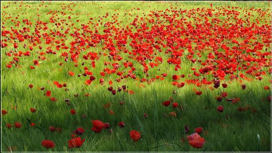 brezza sui rossi... - Cologna veneta (1601 clic)