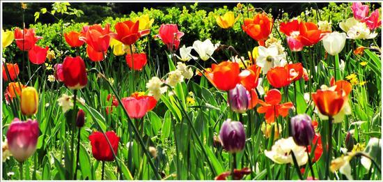 fioritura - Valeggio sul mincio (641 clic)