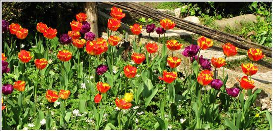 fioritura - Valeggio sul mincio (714 clic)