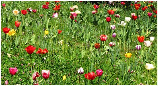 fioritura  - Valeggio sul mincio (585 clic)