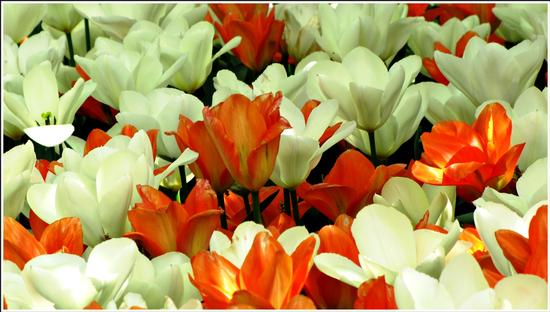 fioritura - Valeggio sul mincio (838 clic)