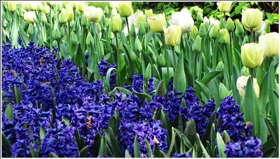 fioritura - Valeggio sul mincio (816 clic)