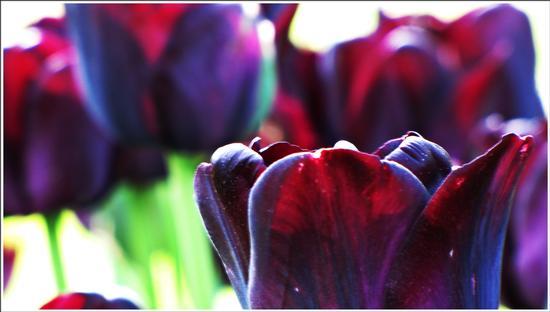 fioritura - Valeggio sul mincio (562 clic)
