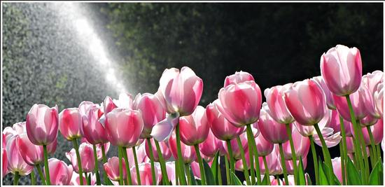 fioritura  - Valeggio sul mincio (660 clic)