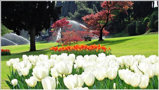 fioritura  - Valeggio sul mincio (704 clic)