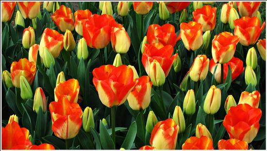 fioritura  - Valeggio sul mincio (898 clic)
