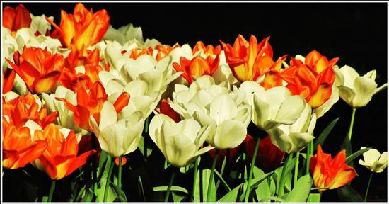 fioritura  - Valeggio sul mincio (700 clic)