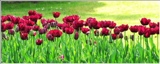 fioritura  - Valeggio sul mincio (715 clic)