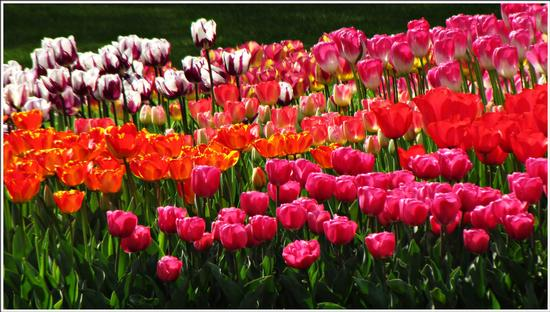 fioritura  - Valeggio sul mincio (596 clic)