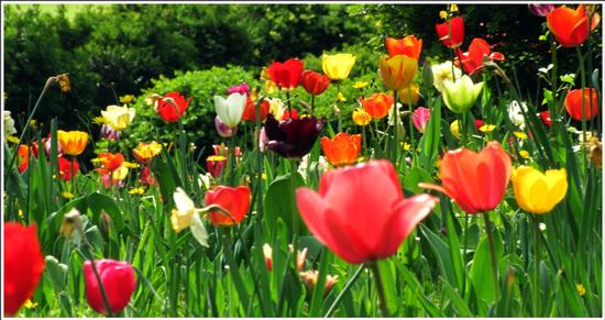 fioritura  - Valeggio sul mincio (684 clic)