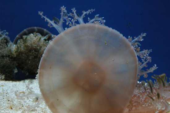 acquario di Genova:sfondo blu con medusa  (2507 clic)