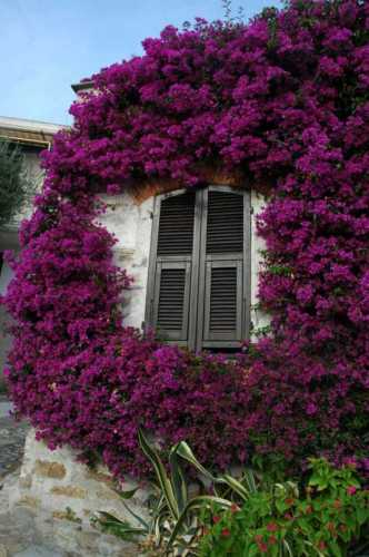 Cervo ligure: finestra con bouganville (5745 clic)