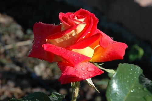 La Rosa Giallorossa - Ferno (3520 clic)