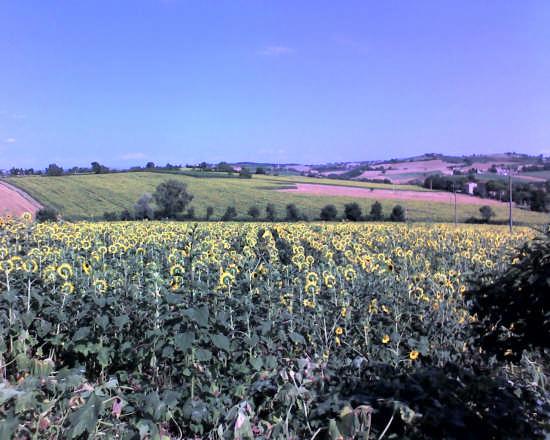 girasoli - Perugia (2584 clic)