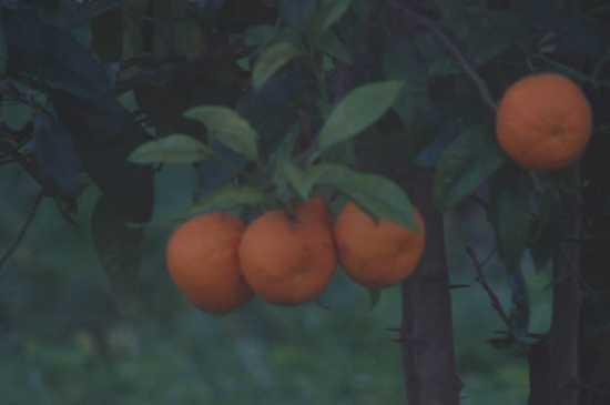 Le arance di David H. - Calatabiano (2692 clic)