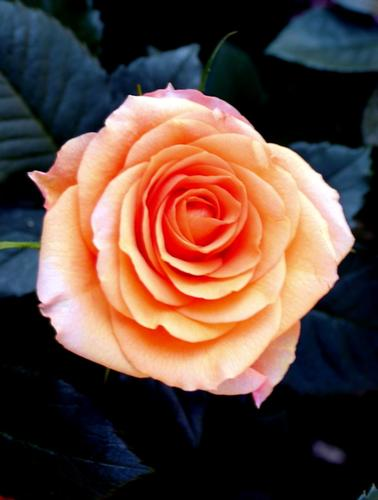 Rosa - BRESCIA - inserita il 13-Nov-14