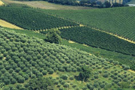 Barbara, paesaggio con ulivi (3230 clic)