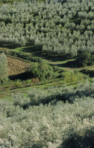 Cartoceto, ulivi. - CARTOCETO - inserita il 12-May-09