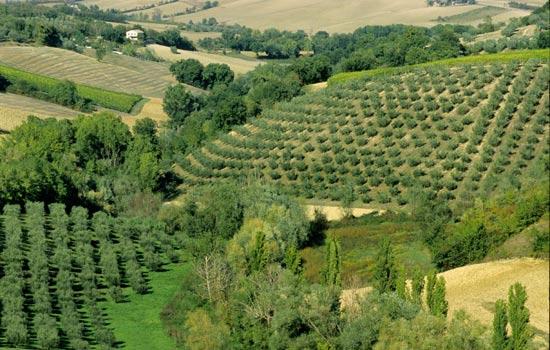 Cartoceto, paesaggio con ulivi (3211 clic)
