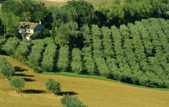 Cartoceto, paesaggio con ulivi - CARTOCETO - inserita il 12-May-09