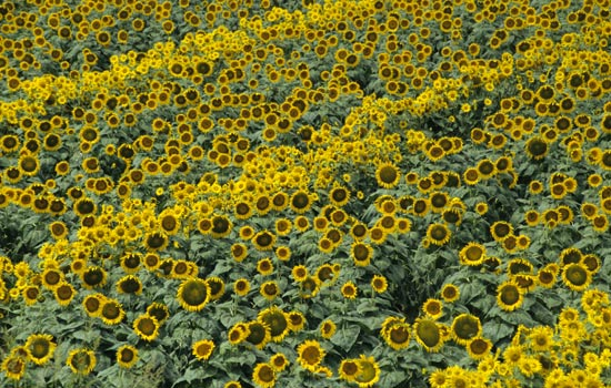 Mogliano, classico paesaggio estivo con girasoli (4448 clic)