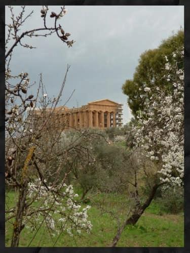 Il mandorlo in fiore - Agrigento (12475 clic)