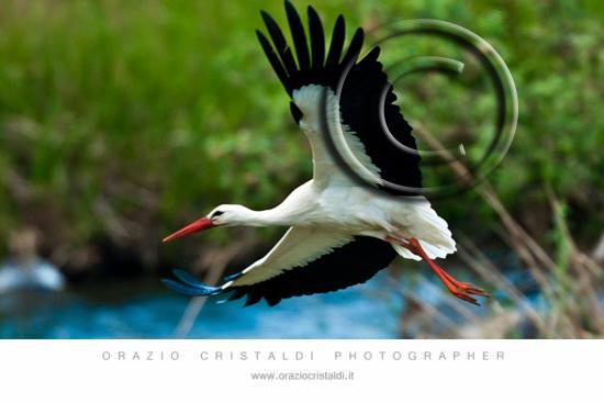 cicogna, uccelli ,  - Randazzo (2777 clic)