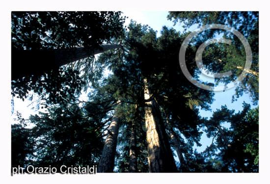 riserva naturale i giganti della sila (1630 clic)