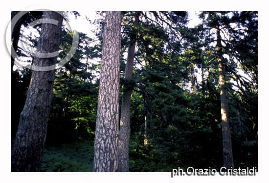 riserva naturale i giganti della sila (1662 clic)